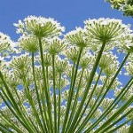 Fear The Giant Hogweed