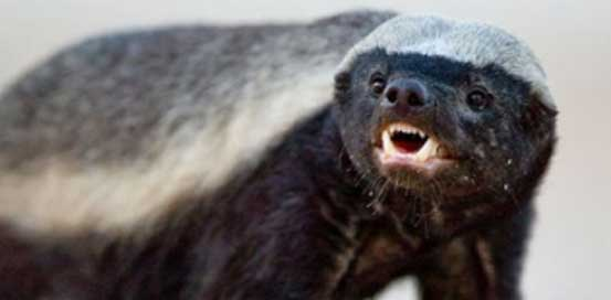 Crazy Nastyass Honey Badger